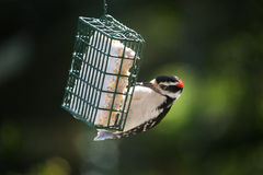 Downey Woodpecker. At a suet feeder in upstate New York Stock Photo