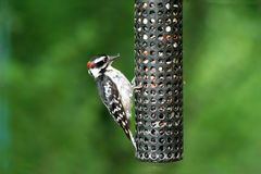 Downey Woodpecker Royalty Free Stock Photo
