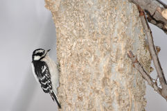 Downey Woodpecker Stock Image