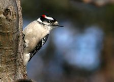 Downey Woodpecker I. Downey Woodpecker photographed in a northern Virginia woodlot stock photo