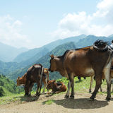 Downhill cattle Stock Photo