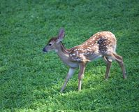 Downhill fawn Stock Photography