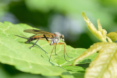 Downlooker snipefly Stock Images