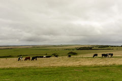 Downs with cows grazing  near Eastbourne Stock Images