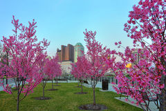Downtown Columbus, Ohio with blooming Red Buds. Red buds in bloom along the Scioto River and Columbus Ohio skyline at John W. Galbreath Bicentennial Park at dusk stock photo