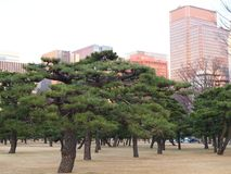 Bonsai like pine trees in front of downtown Tokyo cityscape. royalty free stock photography