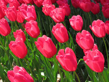 Downtown Tulips Stock Photo