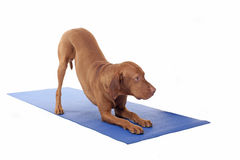 Downward dog Royalty Free Stock Images
