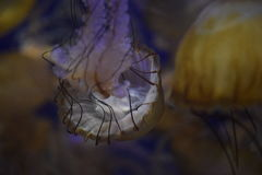 Downward flowing jellyfish Royalty Free Stock Images