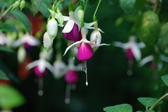 Downward Hanging White Purple Fuchsia Blooms royalty free stock image