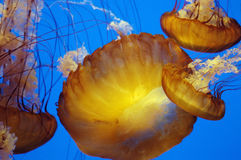 Downward jellyfish 2 Royalty Free Stock Photos