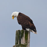 Downward Looking Eagle royalty free stock photography