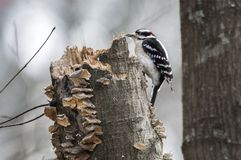 Downy πουλί δρυοκολαπτών που χτίζει μια φωλιά στοκ φωτογραφίες με δικαίωμα ελεύθερης χρήσης