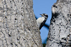 Downy δρυοκολάπτης που στηρίζεται σε ένα δέντρο Στοκ Φωτογραφία
