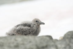 Downy chick South Polar skua. Royalty Free Stock Photography