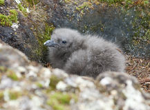 Downy chick South Polar Skua Hidden among the rocks. Stock Images