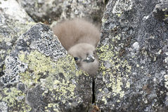 Downy chick South Polar Skua Hidden among the rocks near the nes Stock Photo