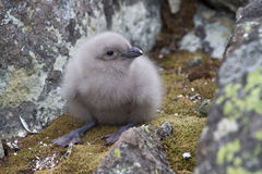 Downy chick South Polar Skua among the rocks Royalty Free Stock Photo