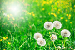 Downy Dandelions Stock Images