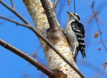 downy female woodpecker Στοκ εικόνες με δικαίωμα ελεύθερης χρήσης