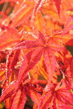 Downy Japanese Maple. Leaves. Stock Photos