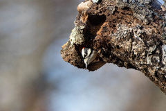 Downy Peek. Downy woodpecker peeking out of the trunk of a red oak Stock Images