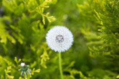 Downy ripe seed head of the dandelion closeup. On a blurred background of grass royalty free stock image