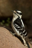 Downy on Rock. Downy Woodpecker on a Rock in the sun Stock Photo