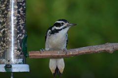Downy Wood pecker perched feeding. Downy Wood Pecker perched on a branch feeding from bird feeder Stock Photography