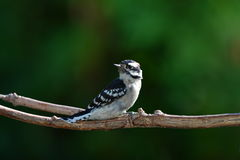 Downy Wood pecker perched in sun Stock Photos