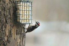 Downy wood pecker at suet feeder Stock Images