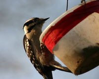 Downy woodpecker. (Picoides pubescens)on bird feeder, Central Park, New York Royalty Free Stock Photography