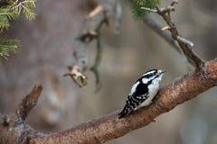 Downy woodpecker. Side view of downy woodpecker bird on branch stock photos