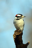 Downy Woodpecker. Male Downy Woodpecker standing on the edge of a branch against blue sky Stock Photography