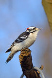 Downy Woodpecker. Male Downy Woodpecker standing on the edge of a branch against blue sky Stock Image