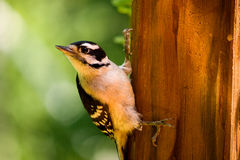 Free Downy Woodpecker Stock Photos - 20462163