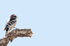 Downy woodpecker. A downy woodpecker pearched on a broken tree limb Stock Photos
