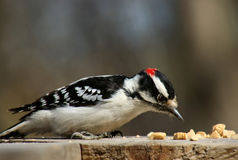 Downy woodpecker. Standing on a plank of wood Royalty Free Stock Photos