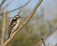 Downy Woodpecker. Female downy woodpecker perched on a branch Royalty Free Stock Photo