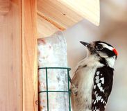 Downy Woodpecker. This is a Downy Woodpecker at a bird feeder Royalty Free Stock Image