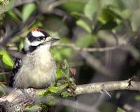 Downy Woodpecker Royalty Free Stock Photo