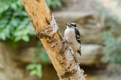 Downy Woodpecker Royalty Free Stock Photos