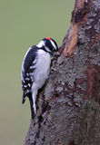 Downy Woodpecker. Digging a hole in an old tree in winter Stock Photo