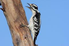 Downy Woodpecker Royalty Free Stock Image