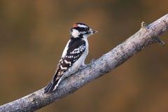 Downy Woodpecker. Perched on a tree limb Stock Photo