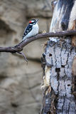 Downy Woodpecker royalty free stock photos