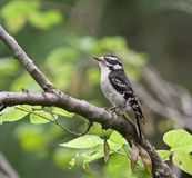 Downy Woodpecker Royalty Free Stock Photography