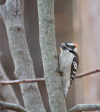 Downy Woodpecker Stock Photo