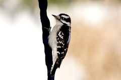 Downy Woodpecker. Close up of a Male Downy Woodpecker Royalty Free Stock Images