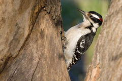 Downy woodpecker. A male Downy woodpecker is looking for meal in the morning Stock Photography